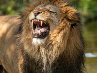 a roaring lion 4k free wallpapers