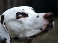 close up photo of dalmatian dog 4k free wallpaper