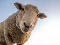 focus photo of brown sheep 4k free wallpaper
