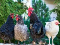 four assorted color roosters 4k free wallpaper