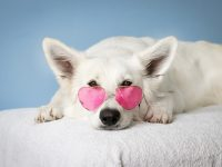 medium short coated white dog on white textile 4k free wallpaper