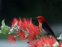 nature red bird whildlife 4k free wallpaper