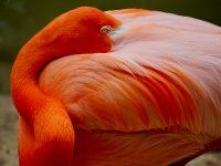 orange flamingo 4k free wallpaper