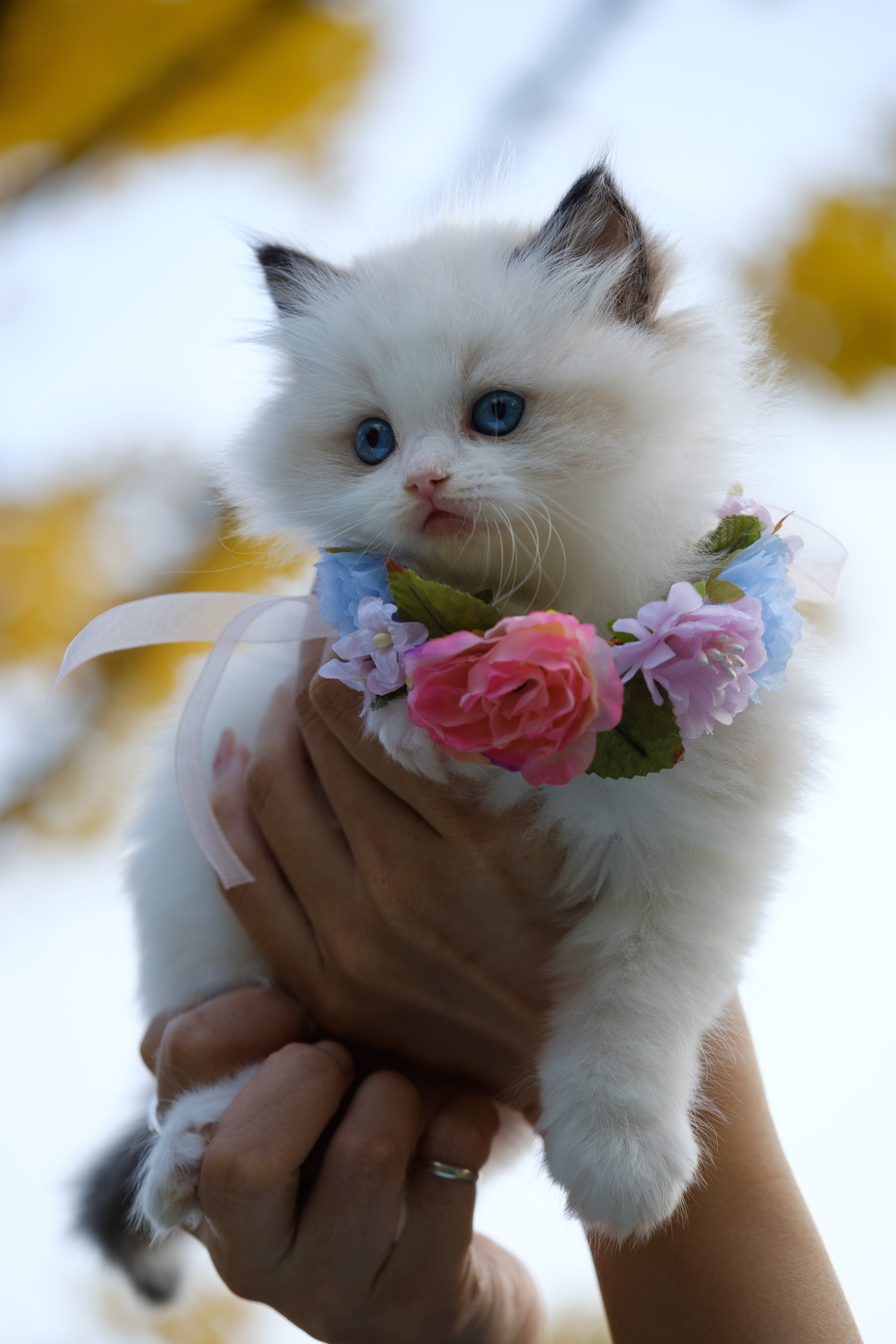 person holding white kitten with flowers necklace 4k free wallpaper