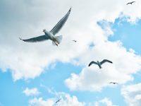 several soaring seagulls 4k free wallpaper