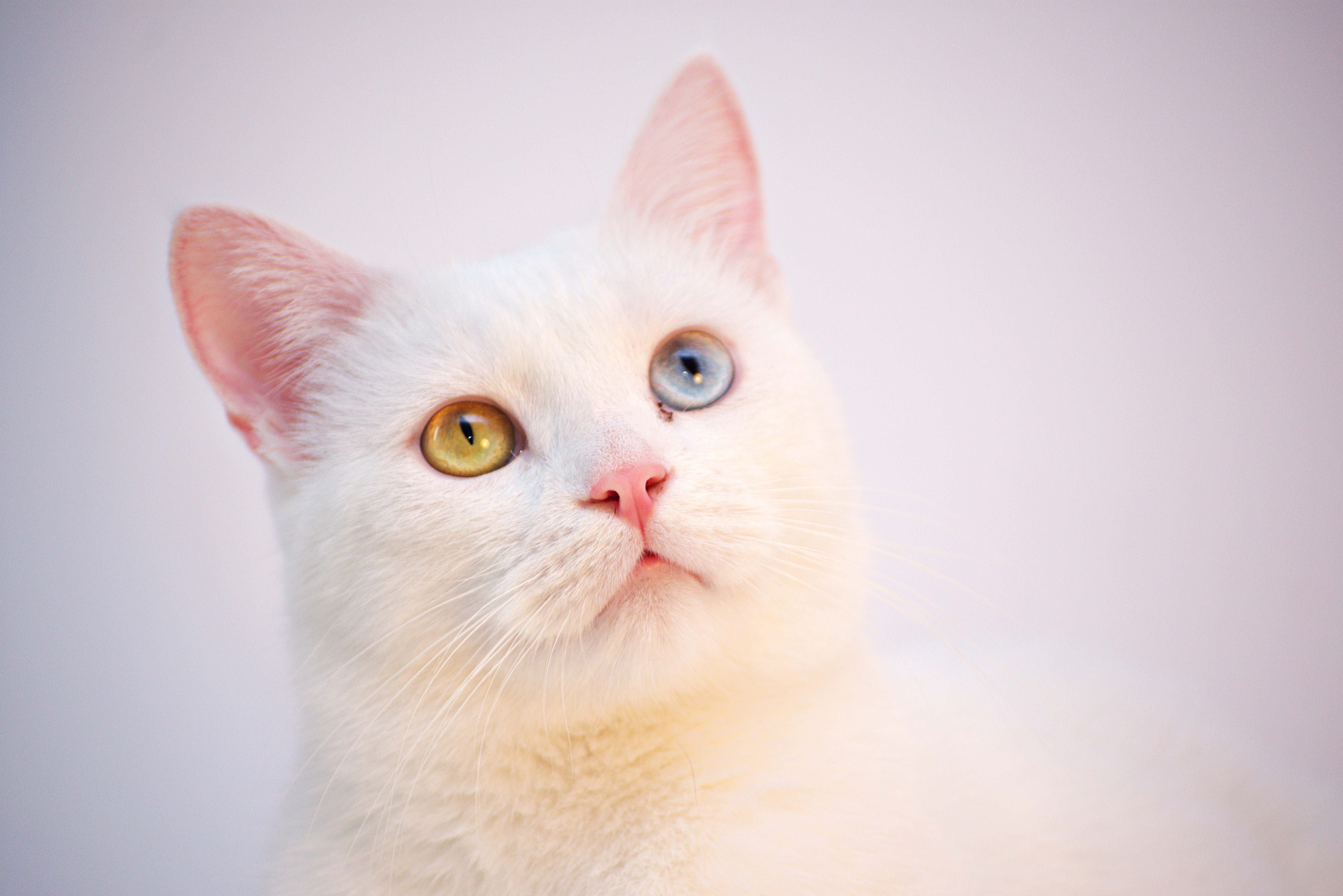 shallow focus photography of white cat 4k free wallpaper