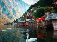 three white swan on body of water 4k free wallpaper