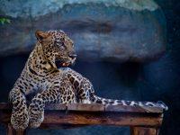 jaguar 4k free wallpapers